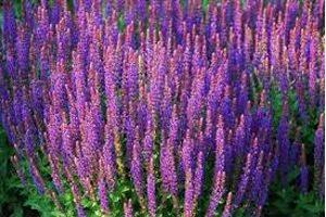 Трава шалфей применение в гинекологии при климаксе